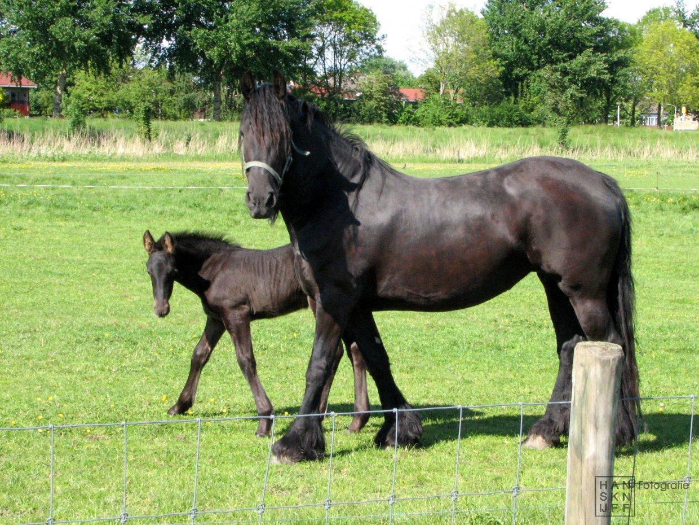 Foto paard met veulen 6