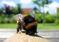 hommel op steen (3 jun '06)